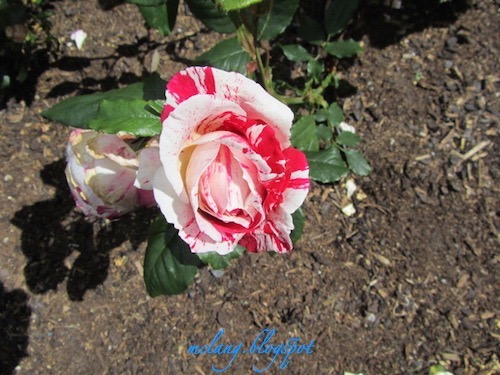 Attractive Mottled Rose