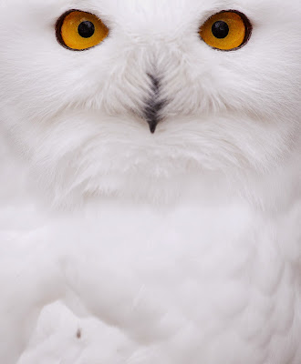 A snowy Owl sits in their enclosure at the zoo in Hof, Germany