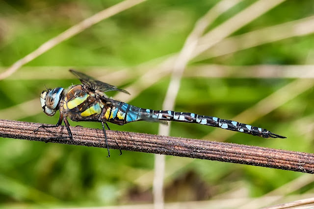 Migrant Hawker Male (Aeshna mixta) photographed in Howe Park Wood, Milton Keynes, 2012