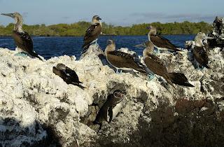 Penguins and Blue Footed Boobies at Elizabeth Bay, Isabela Island, Galapagos