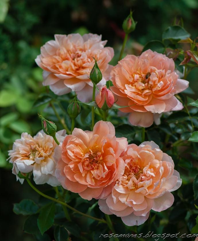 a rose is a rose toile de feu and sunday rose portraits. Black Bedroom Furniture Sets. Home Design Ideas