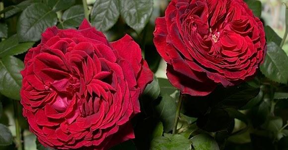 Роза госпел и описание и уход