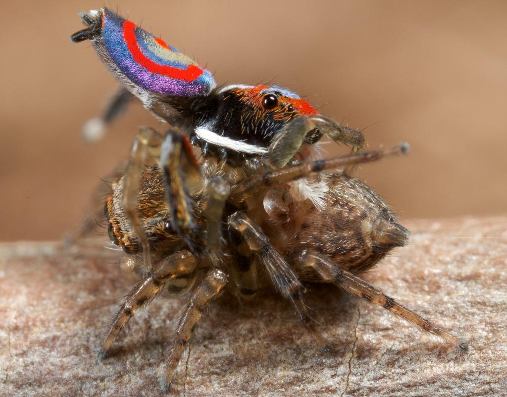 araignée amérique du sud
