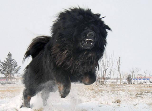 THE LION-DOG: TIBETAN MASTIFF- WORLD'S MOST EXPENSIVE DOG   King Raah ...