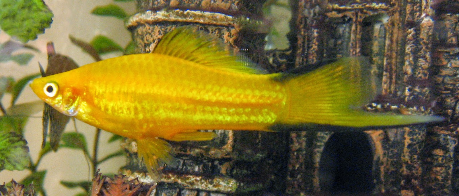 Freshwater frenzy swordtail fact sheet for Easy to care for fish