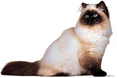 صور قطط هيمالايا جميله, اجمل صور قطط هملايا بجميع انواعها