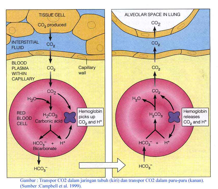 Ilmu pelajaran transportasi oksigen dan karbon dioksida transportasi oksigen dan karbon dioksida ccuart Gallery