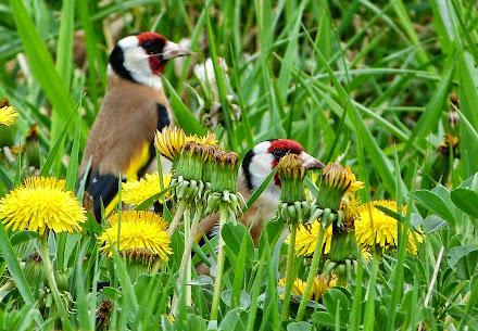 Květy a stehlík obecný