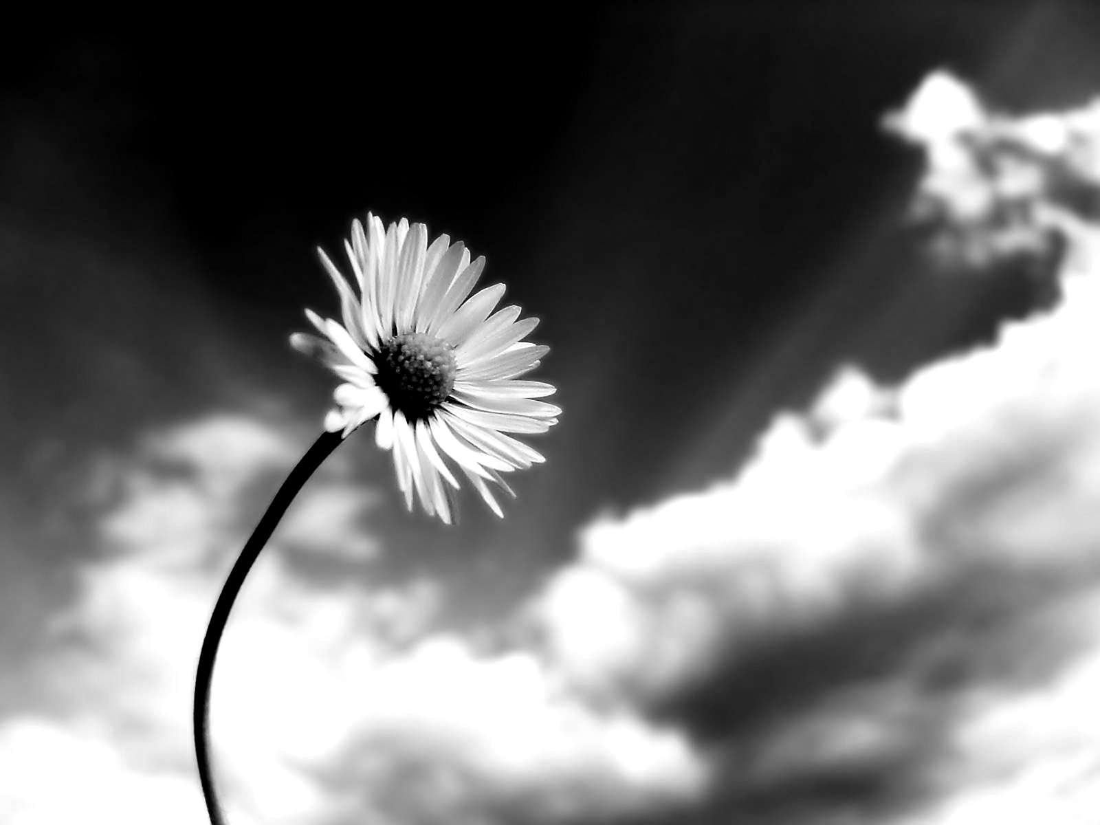 Flowers Black And White Nature Photos