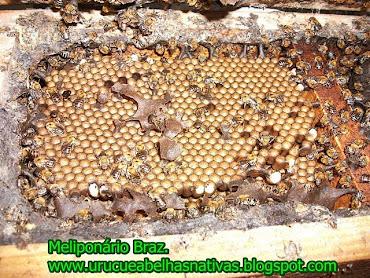 Matriz de uruçu(Melípona scutellaris)