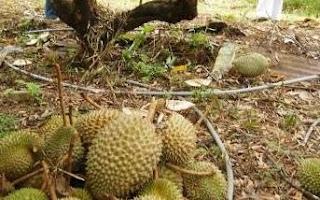 Nenek Dirogol Ketika Kutip Durian Di Kebun