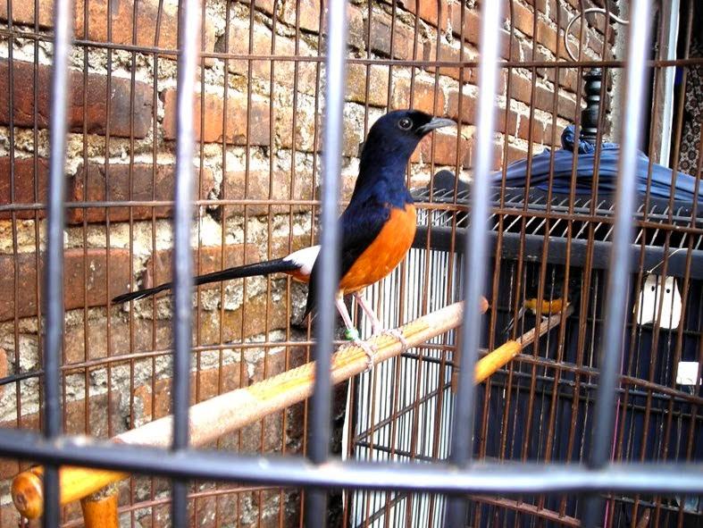Bisnis Jualan Burung Kicau Sangat Menguntungkan