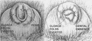 Cara mengetahui jenis kelamin anak ayam metode vent sexing