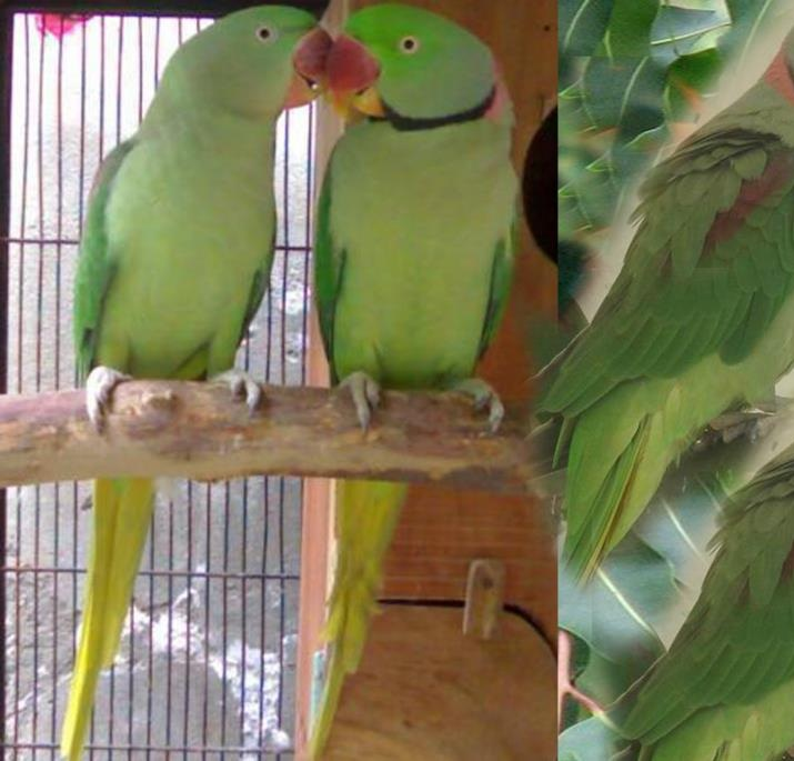 Green Parrot For Sale Green Parrots Available For