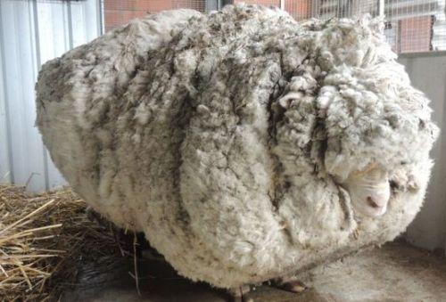 Tosa de carneiro perdido rende 40 kg de lã na Austrália