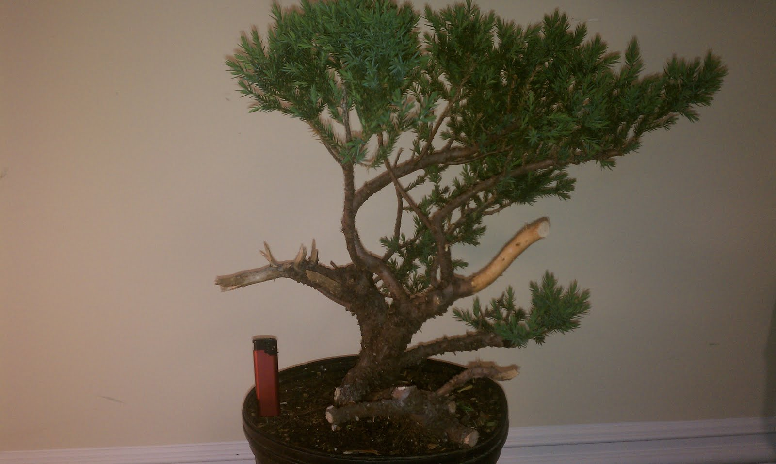 Bodhisattva Bonsai San Jose Juniper Bonsai Big Steps Forward