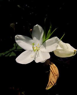 Dwarf White Orchid or Mandaram