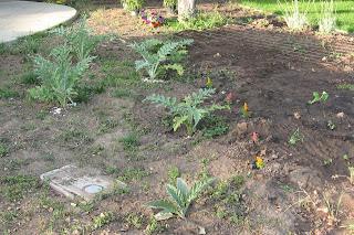 small artichoke plants in garden