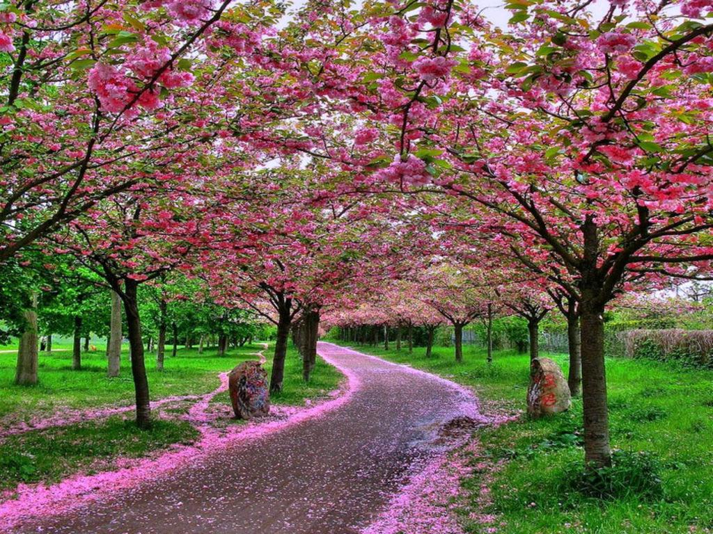 http://1.bp.blogspot.com/-vWhXuNWprvk/TdHNJWqX9hI/AAAAAAAAFX0/m71nD0Y6k4E/s1600/Best+Sakura+Wallpaper.jpg