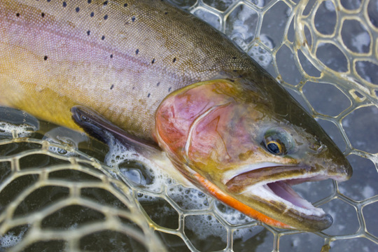 A closeup of my beautiful dry fly caught cutthroat trout on the Lamar River