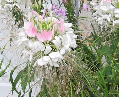the cleome flower is a genus of annual flowering plants with 170 ...