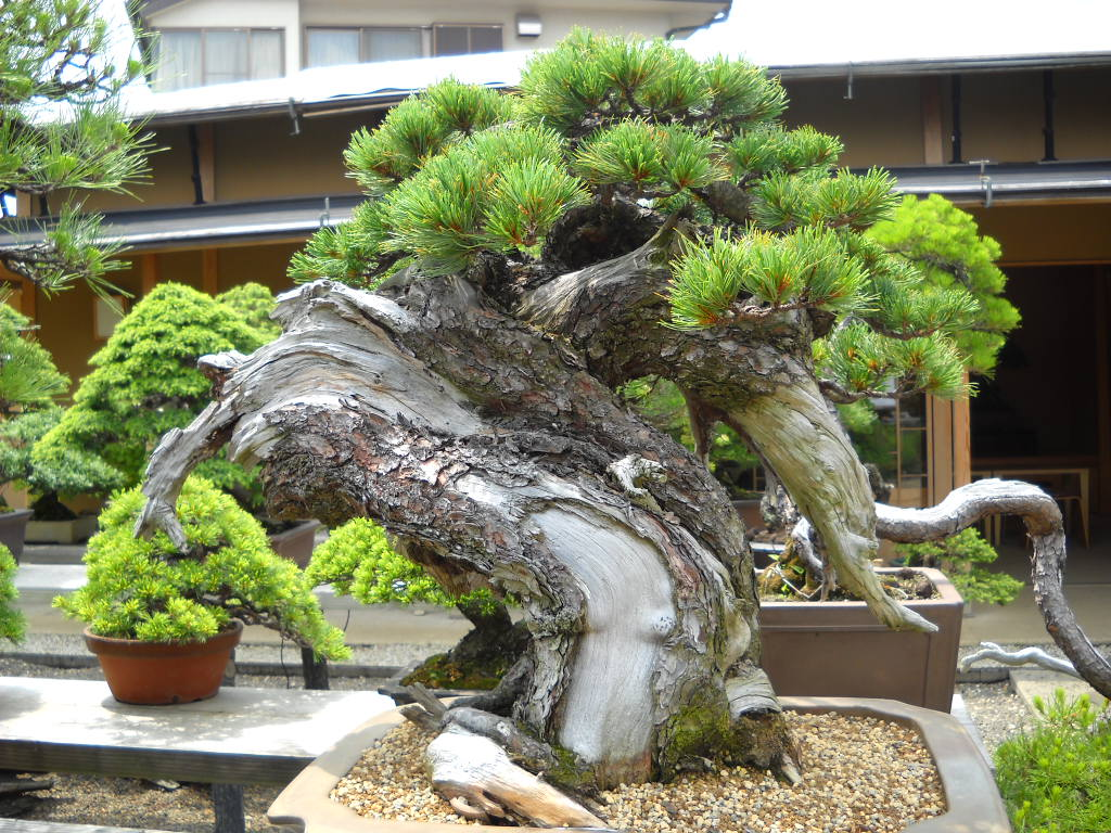 Backyard Bonsai Garden : Daily Glimpses Of Japan Bonsai Garden, Omiya, Saitama