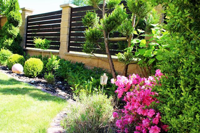 hortensja ogrodowa,różowe kwiaty w ogrodzie,nowoczesny ogró,blog ogrody dom,lifestyle,ogrodzenie z desek,mur jaki wysoki przy lesie