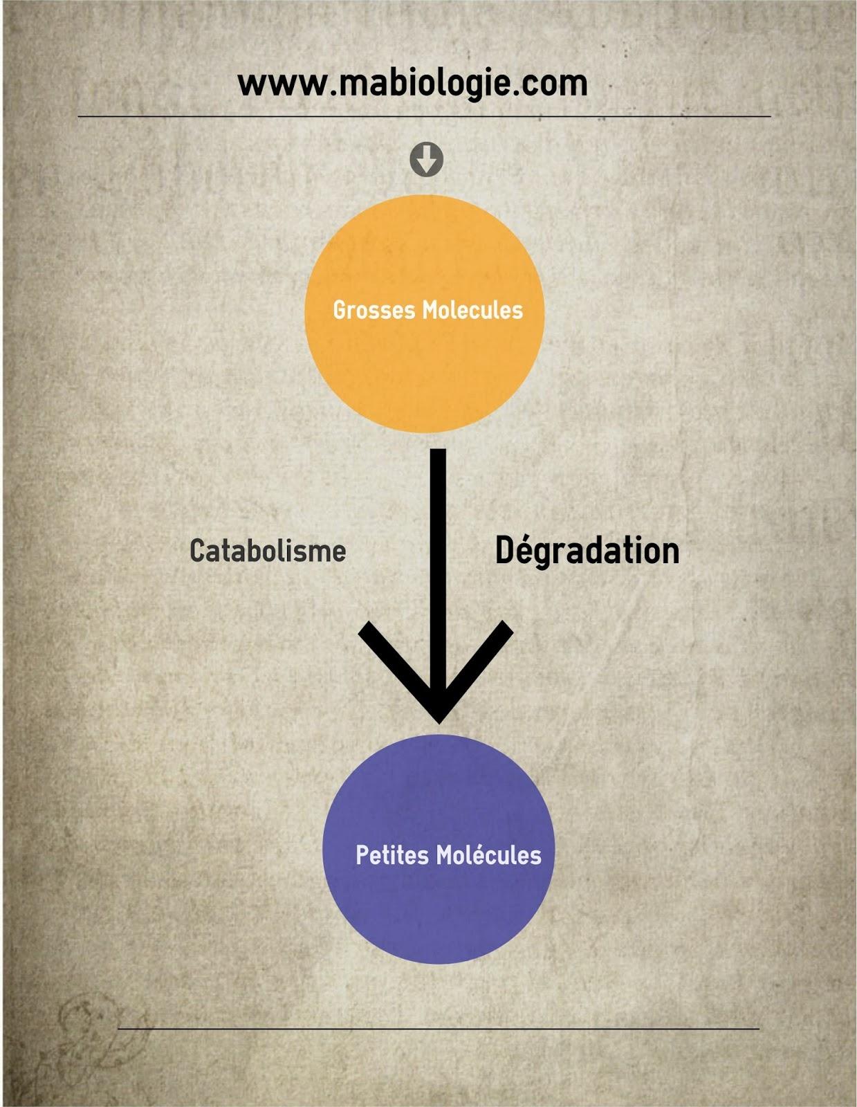 Définition Catabolisme