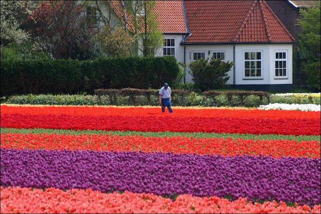 20 شهر مايو في هولندا  موسم حصاد زهور التوليب  جنة على الأرض