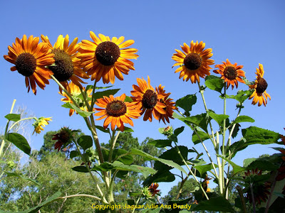 Several pretty Autumn Beauty sunflower blossoms on a sunny day