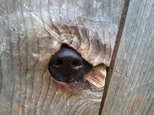 Dog nose in fence. A Happy Havanese Blog