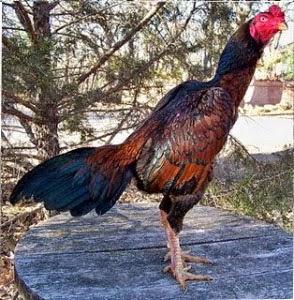 Keunggulan Gaya Tarung Ayam Bangkok, Burma dan Saigon | Ayam Juara