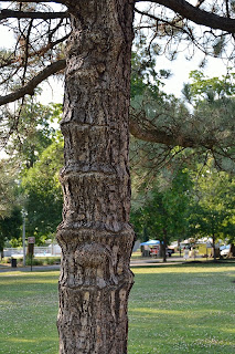 picture of pine tree trunk at Bosse Field