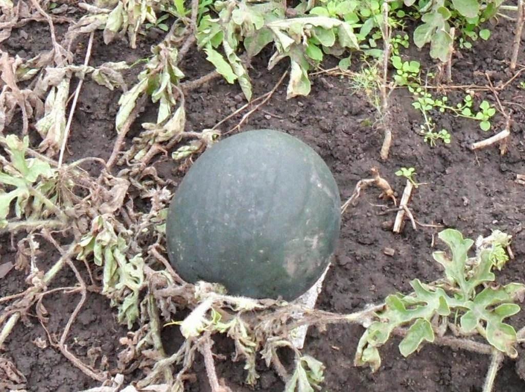 Для арбузов выдался очень неблагоприятный сезон