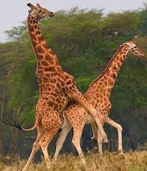 Giraffes having sex mating