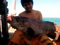 ikan kerapu besar