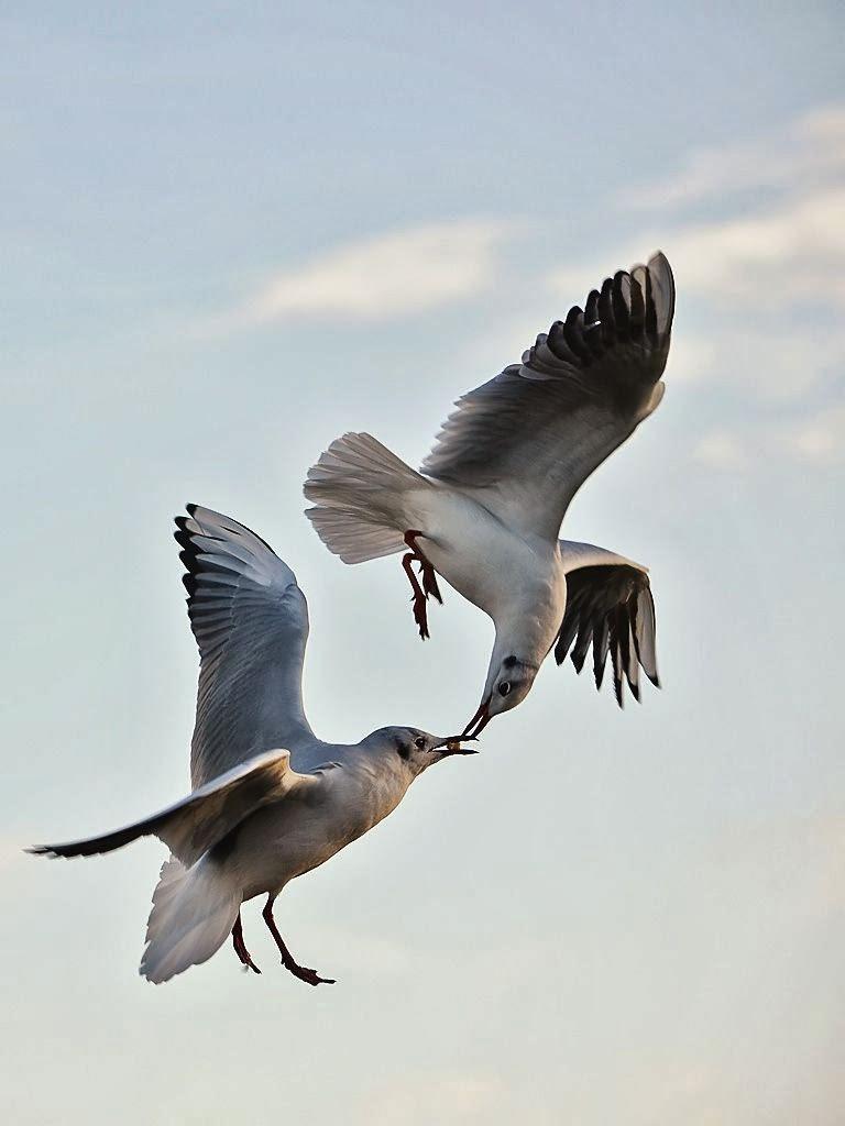 Foto-Foto Burung Berciuman Saat Terbang