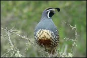 California Quail