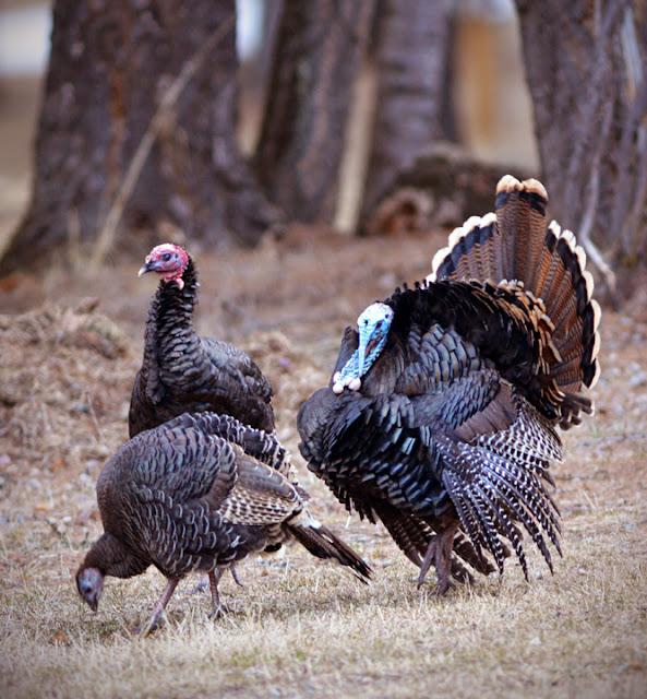 Female turkeys ignore a strutting male (c) John Ashley