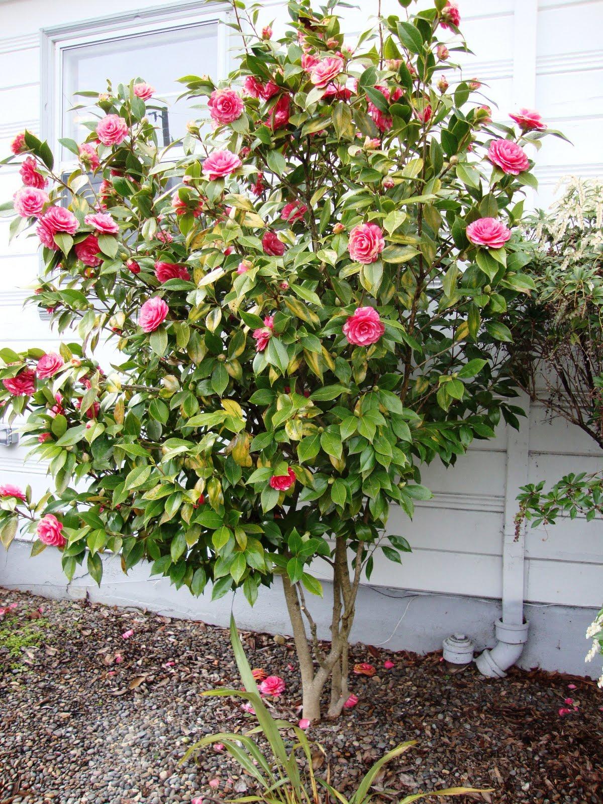 Danger garden buh bye camellia - Camelia planta ...