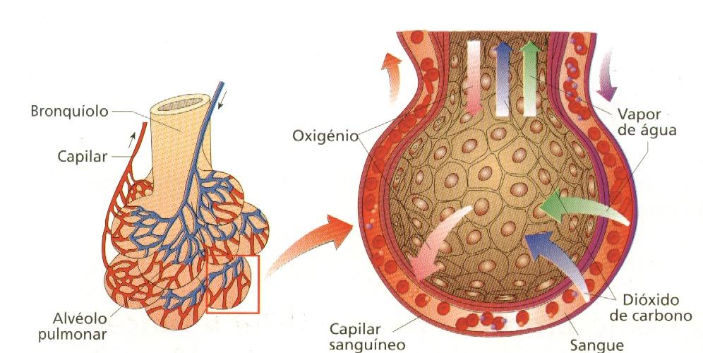 troca gasosa pulmonar