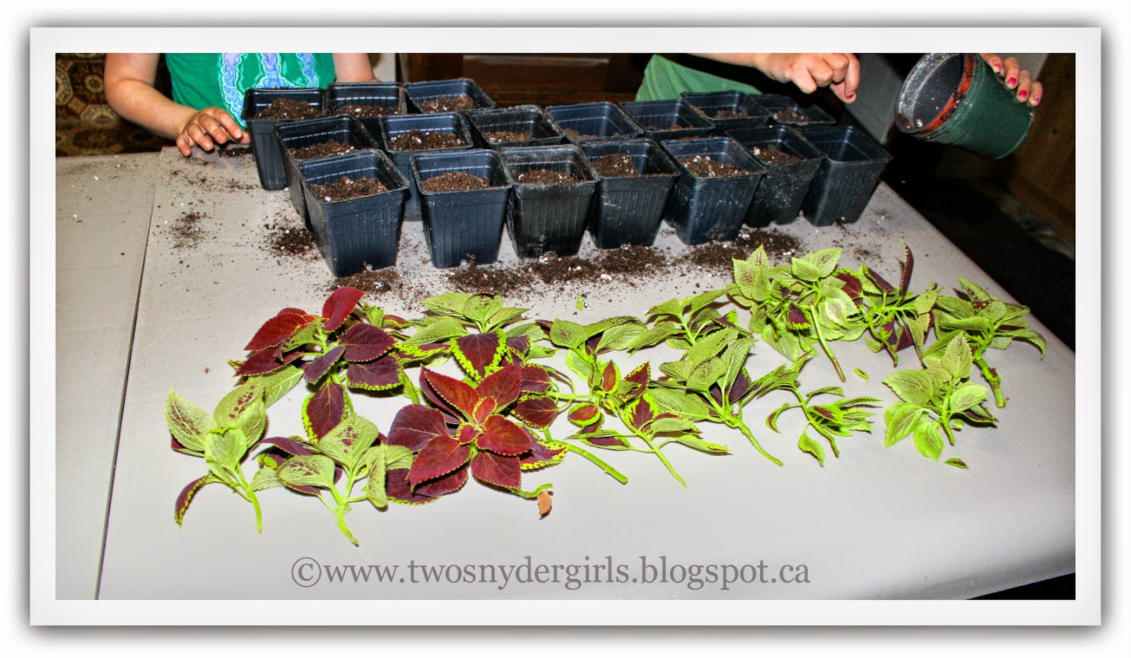 Coleus cuttings ready to plant