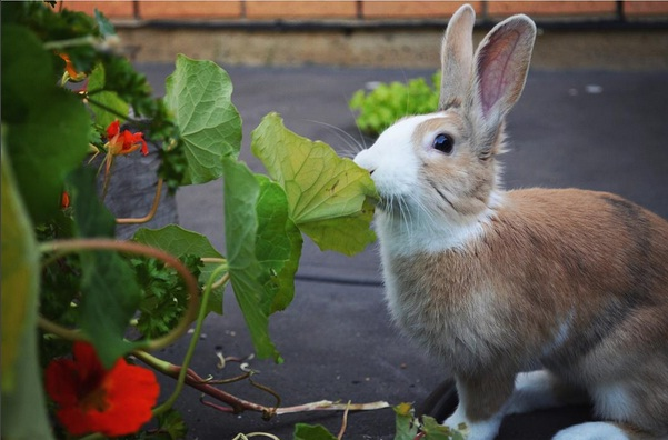 Max, a tri-colour orange, black and white Dutch bunny is eating leaves from the flowerbed.