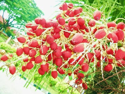 manfaat buah pinang, buah pinang bisa menggairahkan hubungan intim