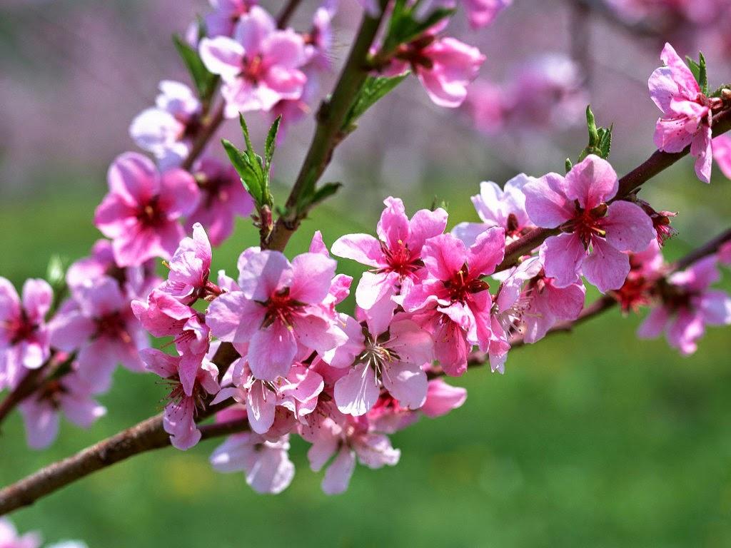 Besplatne Pozadine za Desktop: Cvijetanje, proljeće