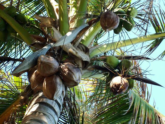 Кокосовая пальма на Филиппинах