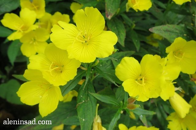 энотера, Oenothera, аленин сад, цветы, июль