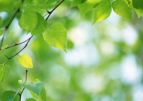 Entre menthe et lavande le bouleau un arbre m decin - Feuille de bouleau photo ...