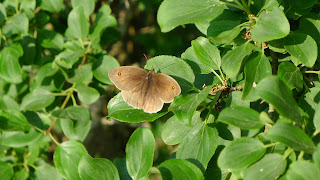 'Maniola Jurtina' - Meadow Brown butterfly, male
