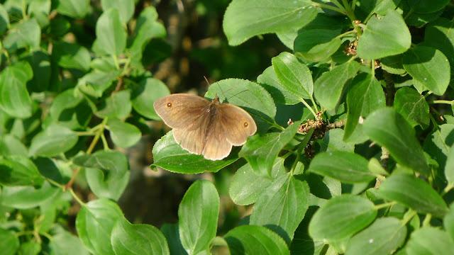 'Maniola Jurtina' - Meadow Brown butterfly, male
